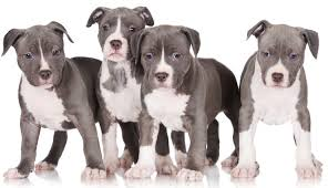 Pitbull Size Chart Blue Nose Pitbull Dog Breed Information And Owners Guide