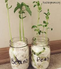 How To Germinate Flower Seeds Paper Towel Germination Activity Grow Seeds In A Jar