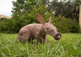 baby aardvark born at busch gardens tampa