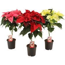 Weihnachtsstern Stamm Rot Oder Weiß Topf ø Ca 15 Cm