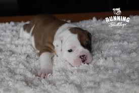 rund um den hund kaufen verkaufen hessen haustier anzeiger olde english bulldog