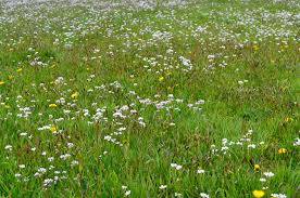 grass field background with flowers. Free Images : Nature, White, Field, Lawn, Meadow, Prairie, Flower, Summer, Spring, Green, Pasture, Flora, Plain, Wildflower, Flowers, Grassland, Vegetation, Grass Field Background With Flowers O