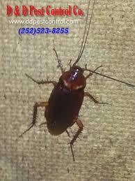 American Cockroach Water Bug Treatment Greenville North Carolina