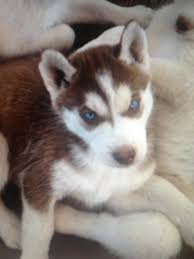 red husky puppy blue eyes. Modren Red For Red Husky Puppy Blue Eyes A