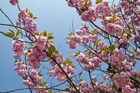 flowering trees spring ontario photo