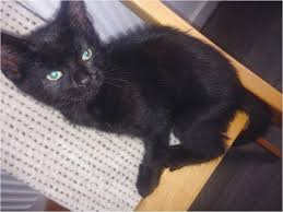 black cats with blue eyes for sale. Modren Sale Black Cat With Blue Eyes For Sale For Black Cats With Blue Eyes Sale