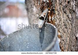BACKYARD MAPLE SYRUP PRODUCTION  Maple Syrup  Pinterest  Maple Backyard Maple Syrup