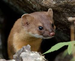 Image result for weasel