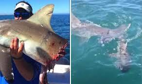 great hammerhead shark caught. Fine Hammerhead Hammerhead Shark Attack Fishermanu0027s Catch To Great Shark Caught M