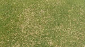 Dollar Spot In Turf Nc State Extension Publications