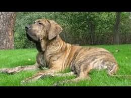 <b>Бразильский фила</b>. Лучшие породы собак. - YouTube