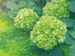 green hydrangea flowers why do