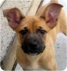 german shepherd boxer mix puppies. Interesting German Adopted Intended German Shepherd Boxer Mix Puppies I