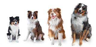 Toy Australian Shepherd Size Chart Aussie Sizes Toy Mini Small Standard And Large Standard