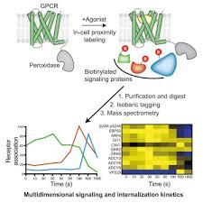 Gpcr Signaling Multidimensional Tracking Of Gpcr Signaling Via Peroxidase