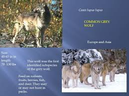 grey wolf size where are they from ppt video online download