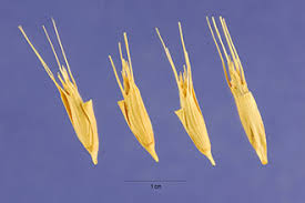 Plants Profile for Aegilops triuncialis (barbed goatgrass)
