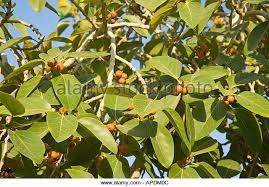 Orange Fruit Tree Stock Images RoyaltyFree Images U0026 Vectors Small Orange Fruit On Tree