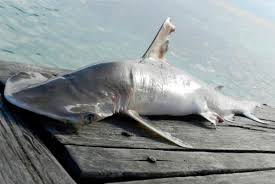 discovery of new shark species in emphasizes need for  a shark collection data program was first implemented by the fisheries department in 2013 the aim to gather scientific data in order to develop and