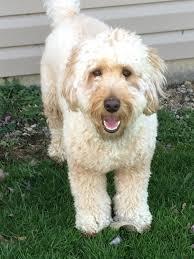 Mini Goldendoodle Full Grown Weight Goldenacresdogs Com