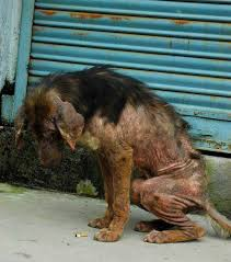 if mange is not treated there can be secondary yeast and bacterial infections