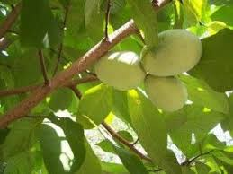 56 Best Wildflowers Plants And Trees Of Scott Country Virginia Dwarf Fruit Trees Virginia
