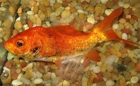 Отравление аквариумных рыбок отравления рыб хлорированная вода  Отравления аквариумных рыб