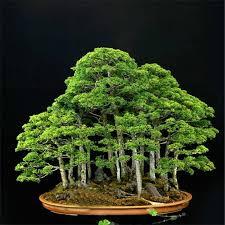 office bonsai. ZLKING 20 Rare Beautiful Juniper Bonsai Tree Seeds Potted Flower Office Purify The Air Absorb E