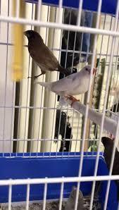 Nuovi arrivi 💥 - coppia canarini agata -... - Il Cucciolo Mantova