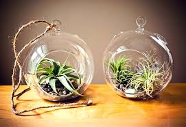 vivarium plants for image of air plant terrarium hanging glass orb