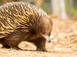Matilda the echidna beats crippling ant allergy – with a little help from  science | Australia news | The Guardian