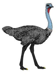 featherless ostrich. Unique Ostrich To Featherless Ostrich L
