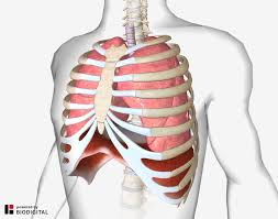 Stomach ribs lungs picture : Diaphragmatic Breathing Relieving Back Pain With Your Breath