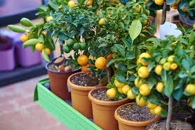 Can Trees Your Fruit Dwarf Grow Porch On 8 You Right