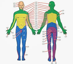 Nerve Root Dermatome Chart Dermatomes And Myotomes Upper Lower Limb How To Relief