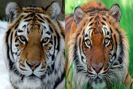 siberian tiger vs bengal tiger. Exellent Siberian Throughout Siberian Tiger Vs Bengal E