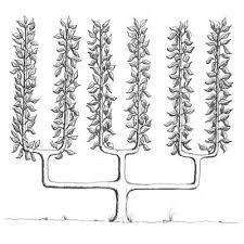 Tree Structure U0026 Light Capture  Fruit U0026 Nut Research Fruit Tree Shapes