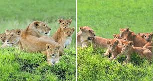 lioness and 4 cubs. Wonderful Lioness Lioncubsfamilyportraitbarbaraflemingserengetiloliondo In Lioness And 4 Cubs
