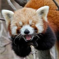 symbiotic relationships symbiotic relationships rad red pandas