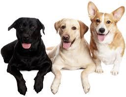 corgi lab mix puppies. Unique Mix Corgi Lab Mix  Corgidor With Puppies O