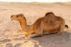 Gel layer inspired by camel fur could keep food and medicines cool | New  Scientist