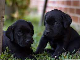 lab puppy wallpapers. Modren Puppy Standard  And Lab Puppy Wallpapers