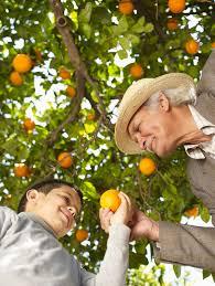 Estudo de poda feito na espanha, em laranjeira salustiana, deram bons resultados na redução da freqüência das podas anuais para intervalos superiores a 6 anos, sem haver redução do tamanho das laranjas salustiana, enquanto a&. Trapp