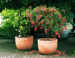 patio trees best potted trees for