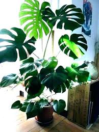 indoor plants low light tall best of trees that clean the air and remove toxins