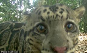 real jungle animals. Delighful Jungle In The Spotlight An Adorable Clouded Leopard Looks Beautifully Soulful As  It Stares Deep Into For Real Jungle Animals E