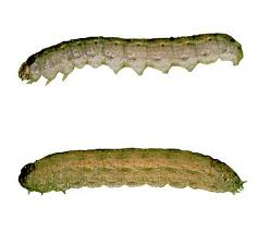 Cutting To The Chase On Cutworms Vegetable Gardener