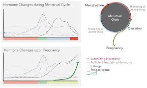 Estrogen And Progesterone Levels In Pregnancy Chart Pee Is For Pregnant The History And Science Of Urine Based