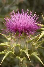 Silybum marianum Calflora