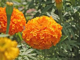 So if marigolds don't deter rabbits, do they at least deter insect pests?  Not so much. The population of bean beetles fluctuates with or without  marigolds.
